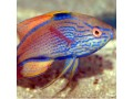 Wrasses (Reef Safe)